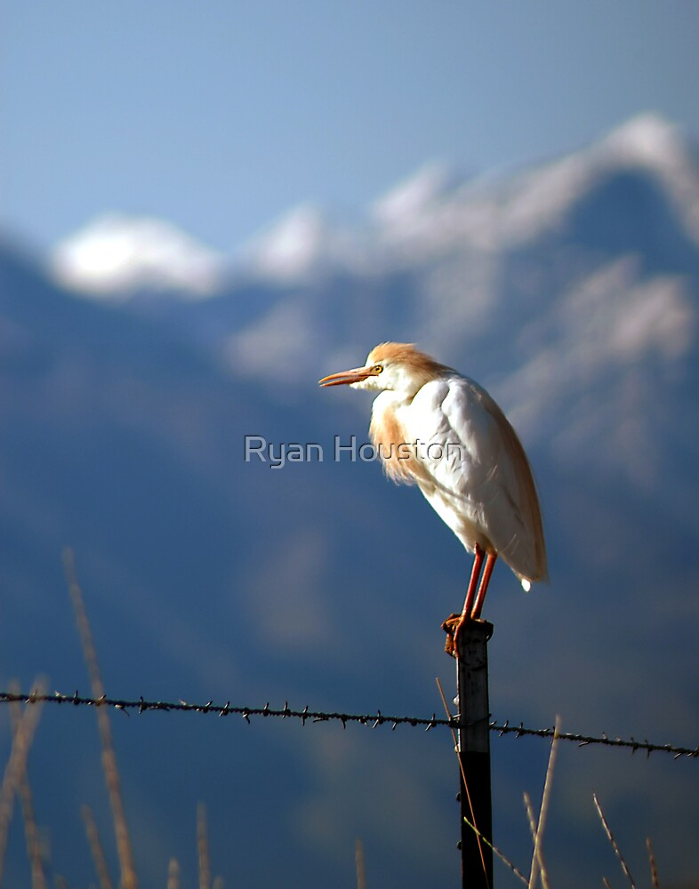 Cattle Egret, Spanish Fork, Utah by Ryan Houston