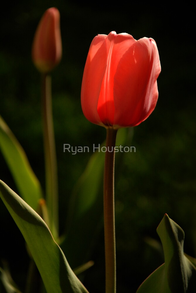 Blooming Tulips by Ryan Houston