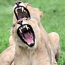 A double yawn! by Anthony Goldman