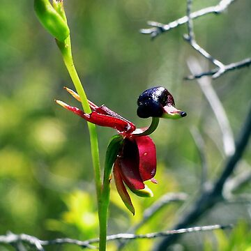 The Flying Duck Orchid by wanungara