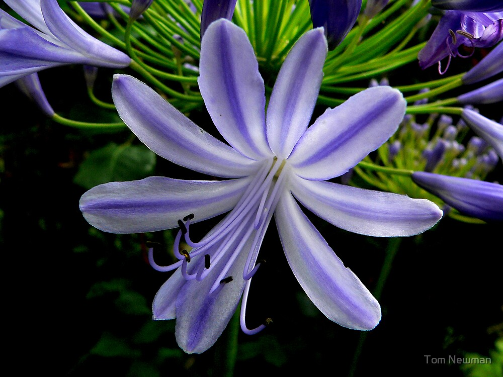 Agapanthus africanus by Tom Newman