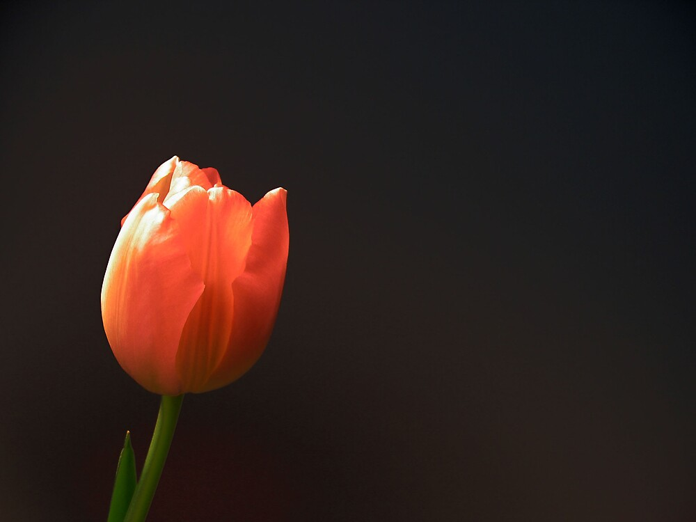 Tulip from Holland by carlala00