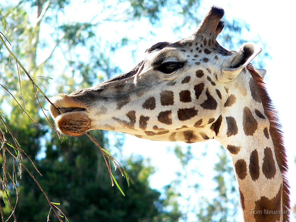 Giraffe at Melbourne Zoo by Tom Newman
