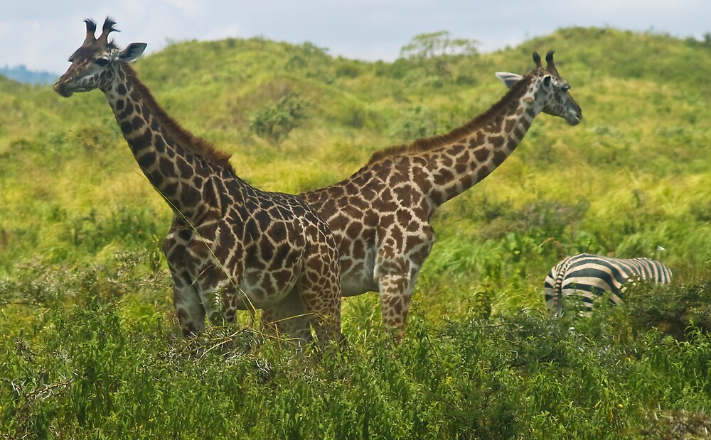2 headed giraffe by Mike Needham