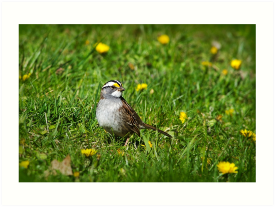 White Throated Sparrow by Christina Rollo