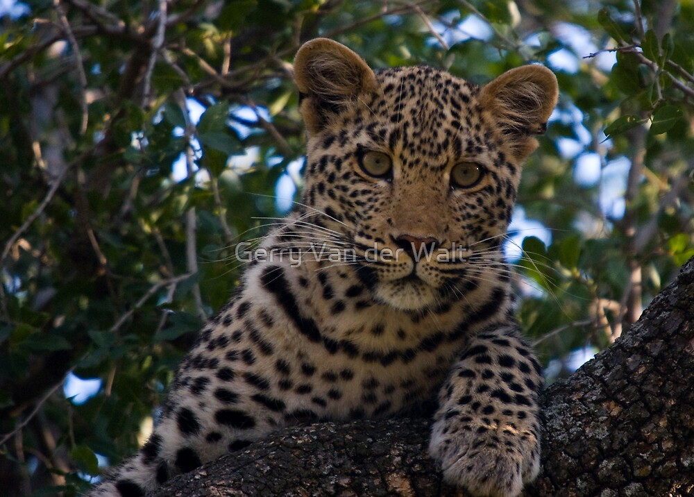 Leopard Cub by Gerry Van der Walt