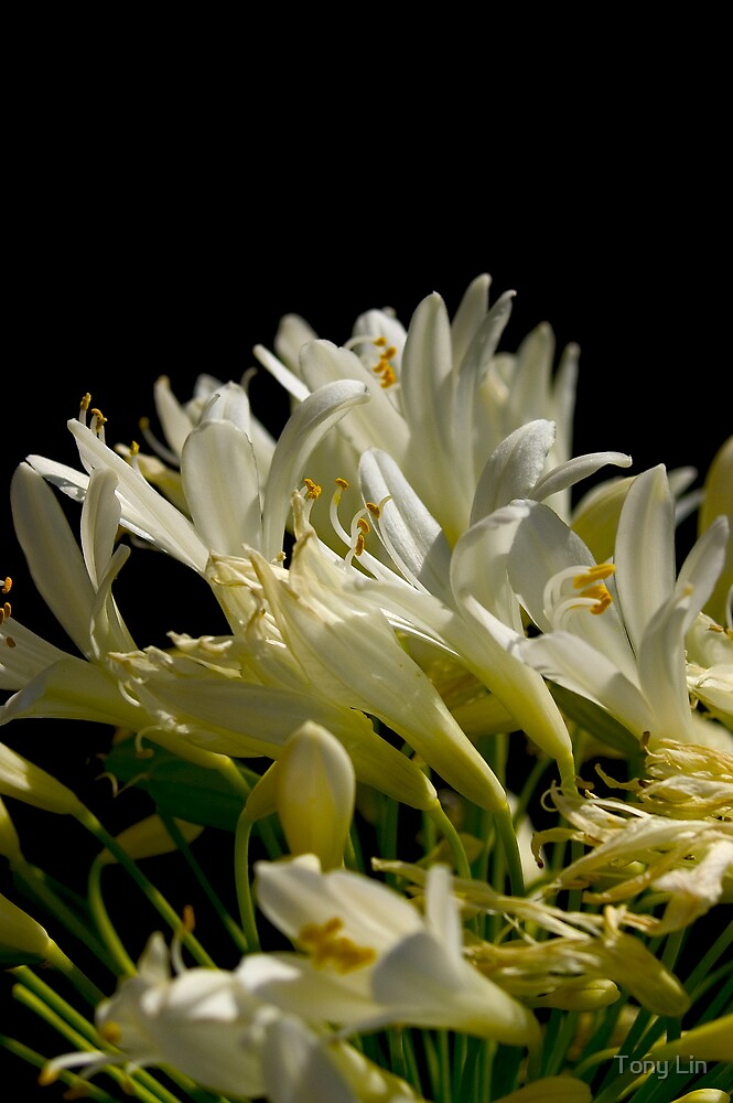 Flower 11 by Tony Lin