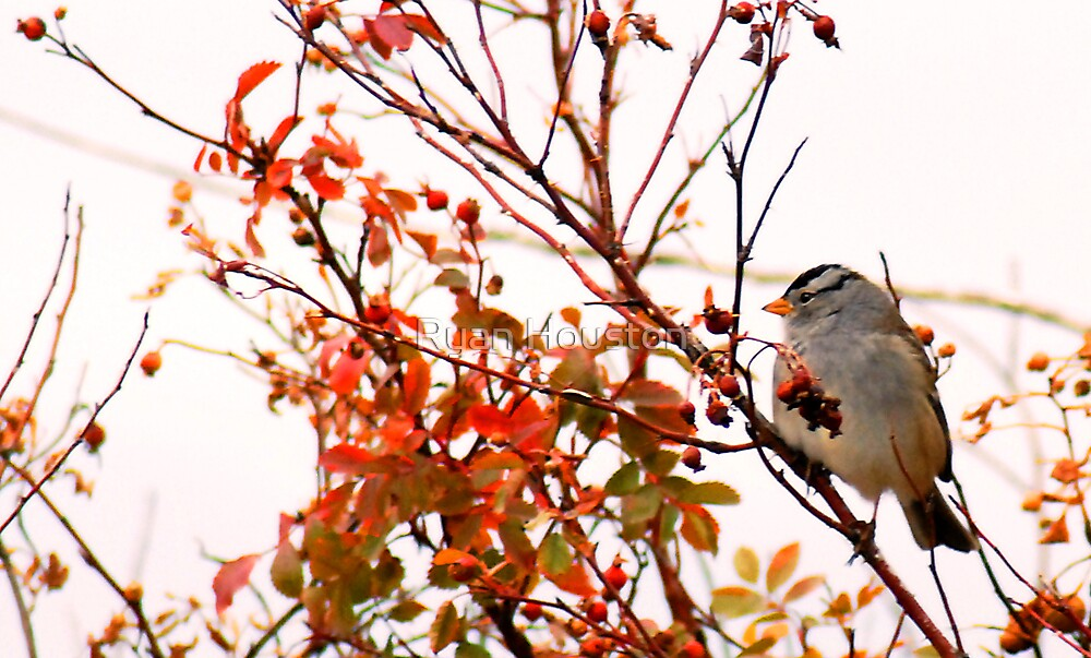 White Crowned Sparrow Autumn Red by Ryan Houston