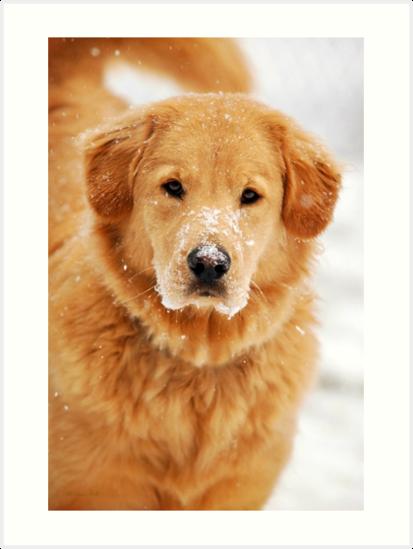 Golden Retriever Dog by Christina Rollo