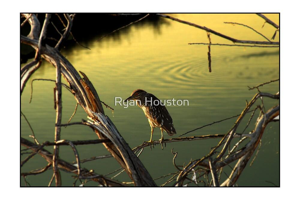 Black-Crested Night Heron by Ryan Houston