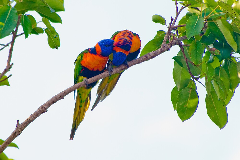 Red-collared Lorikeets, Rapid Creek, NT by Keith McGuinness