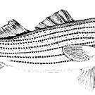 Striped Bass - Pen and Ink by skidgelstudios