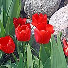 Red Tulips On The Rocks by kkphoto1
