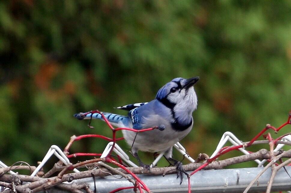 B.Bird2 by fximre