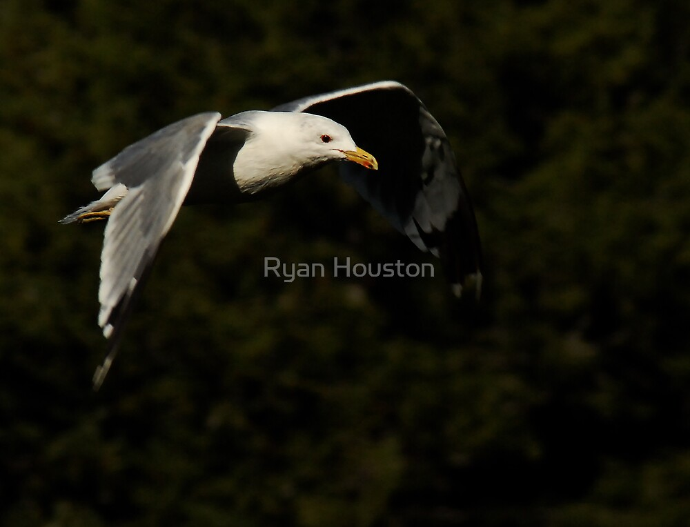 California Gull-Vivian Park-Provo Canyon by Ryan Houston