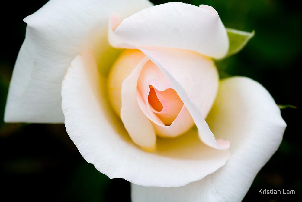 Rose by Kristian Lam