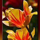 Tulips in Spring by Sheryl Gerhard