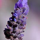 Lavender by ~ Fir Mamat ~