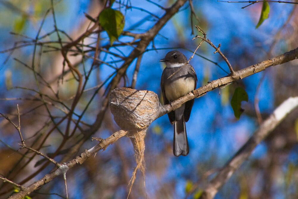 Northern Fantail, Casuarina Coastal Reserve, NT by Keith McGuinness