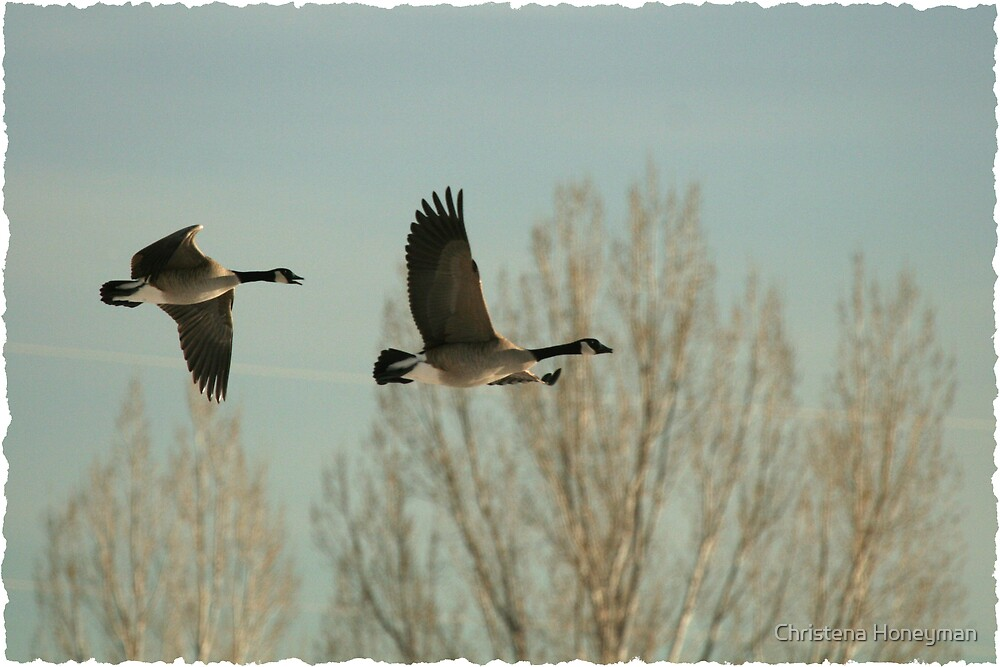 Canadian Snow Geese by Christena Honeyman