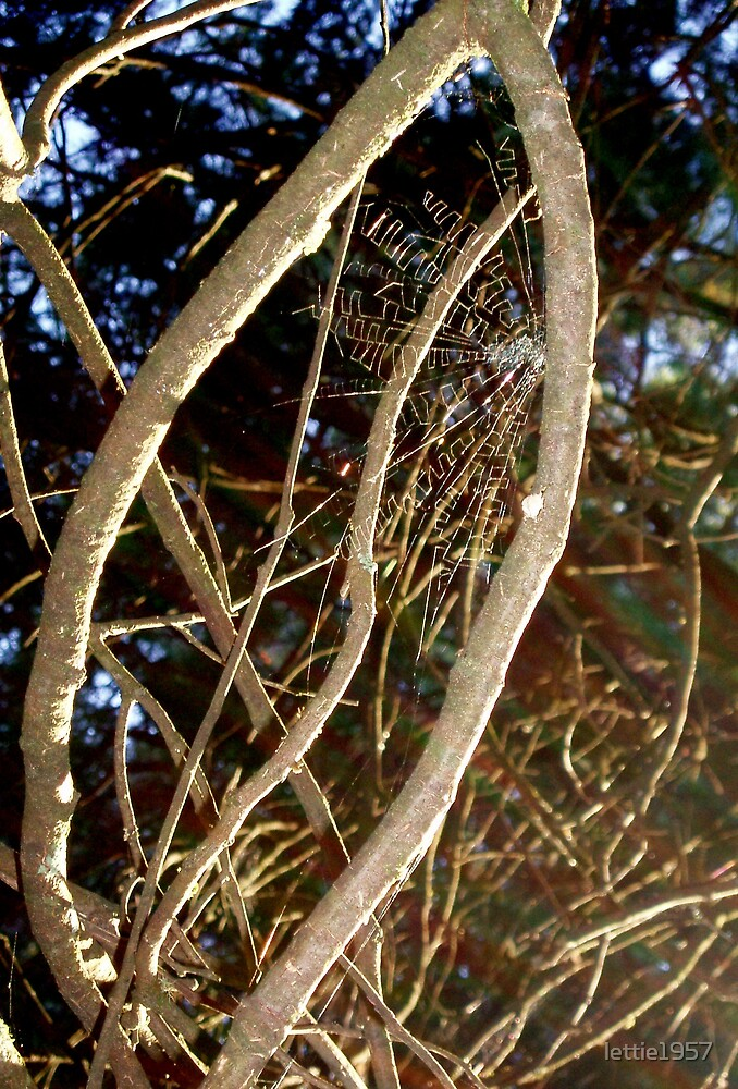 spider web in sun by lettie1957