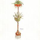 Fritillaria imperialis (Krone imperial) - botanische Illustration von Maree Clarkson