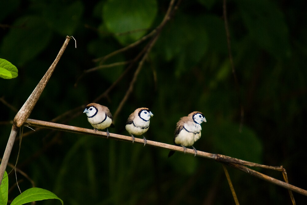 Double-barred Finches, Lee Point, NT by Keith McGuinness