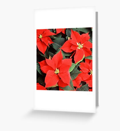 Christmas Red Poinsettia Plants  Greeting Card