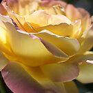 Beautiful Rose Yellow And Pink Romance by Joy Watson
