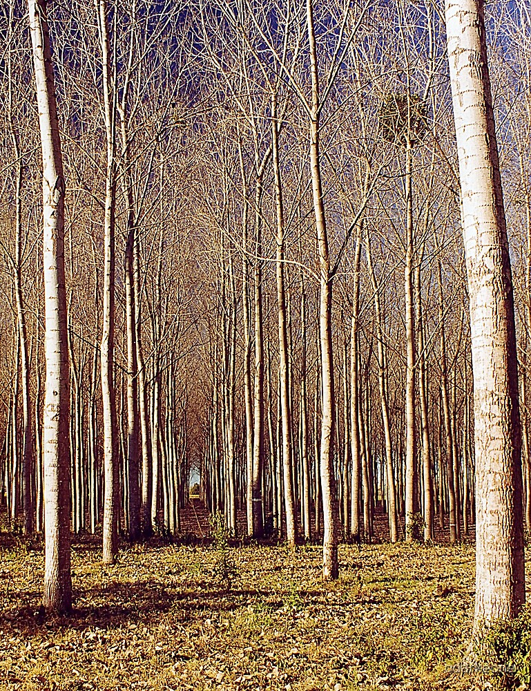 Poppa Trees by odarkeone