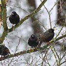 Starlings by Bluesrose