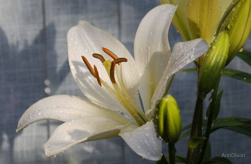 Easter Lily by AnnDixon
