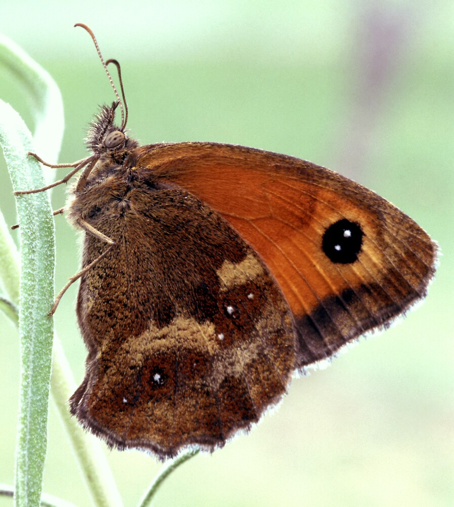 Meadow Brown Butterfly by kitlew