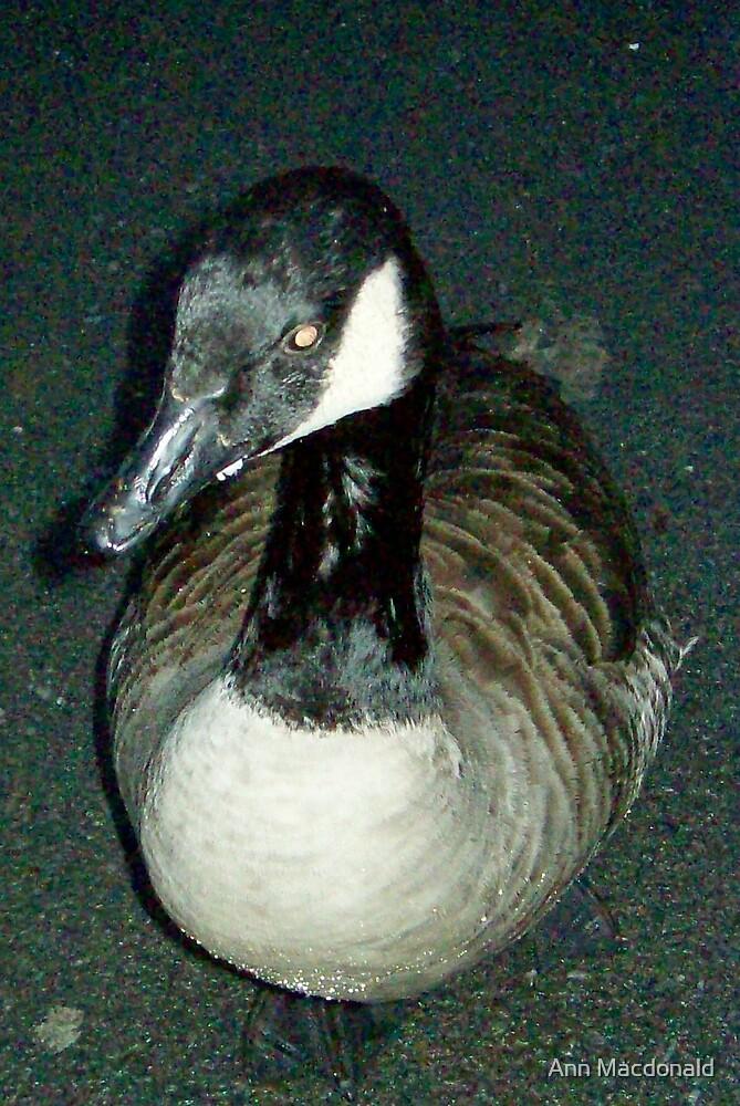 sitting duck by Ann Macdonald
