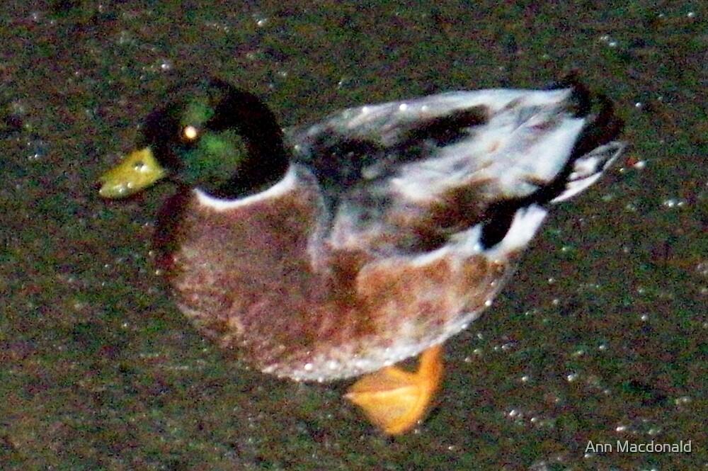 Ducky by Ann Macdonald