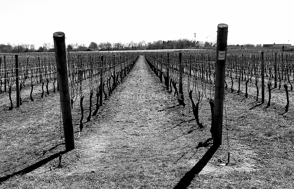Newport Vineyard by Jenny Wright