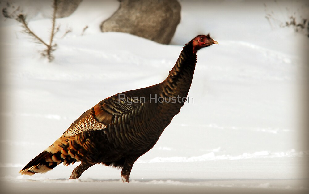 Wild Turkey After Snowstorm by Ryan Houston