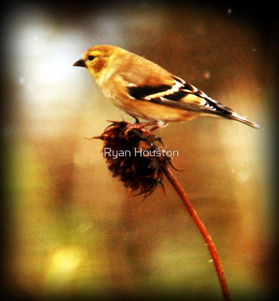 American Goldfinch by Ryan Houston