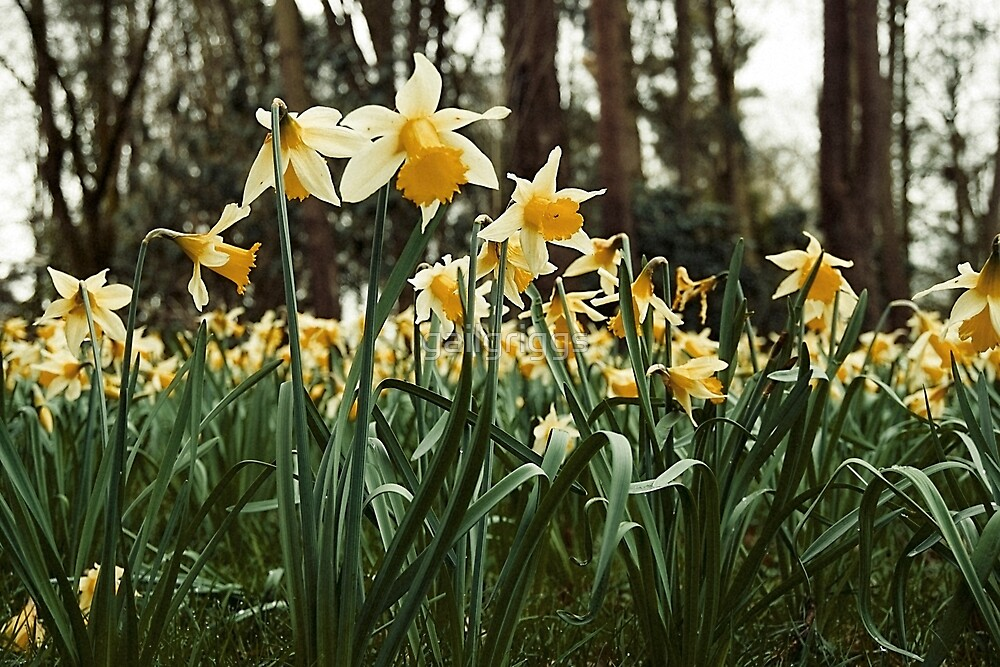 Host of daffodils by gailgriggs