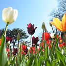 Looking at Tulips.  by LouiseMatchett