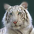 White Tiger by Steve Hunter