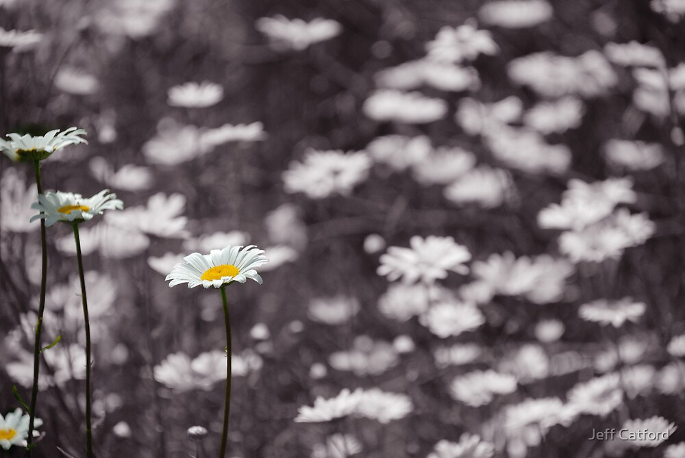 Daisies by Jeff Catford