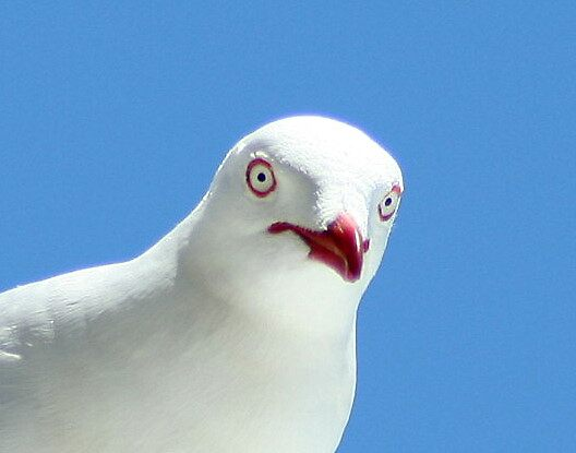 Seagull by Tugela