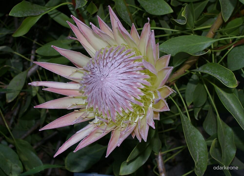 Protea Cynaroides Open by odarkeone