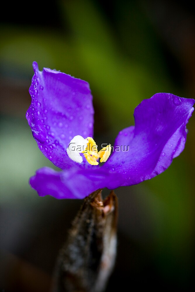 Wildflowers of the Blue Mountains - Dwarf Purple Flag by Gayle Shaw