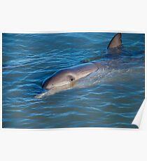 Dolphins Of Monkey Mia Poster