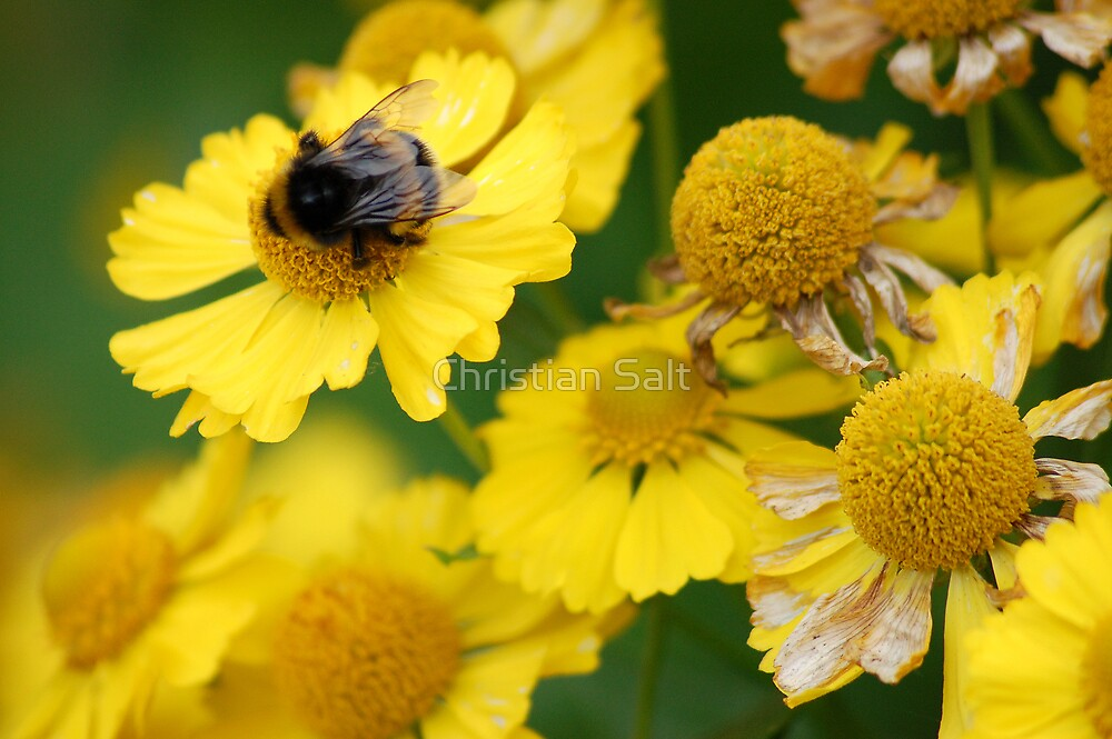 Flower and Bee by Christian Salt