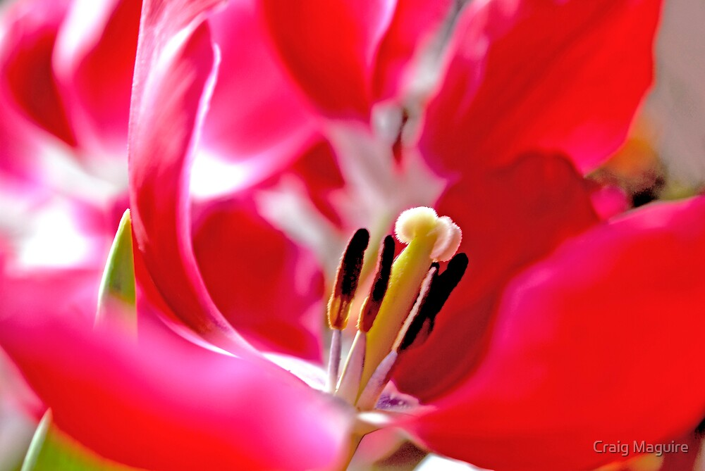 Tulips by Craig Maguire
