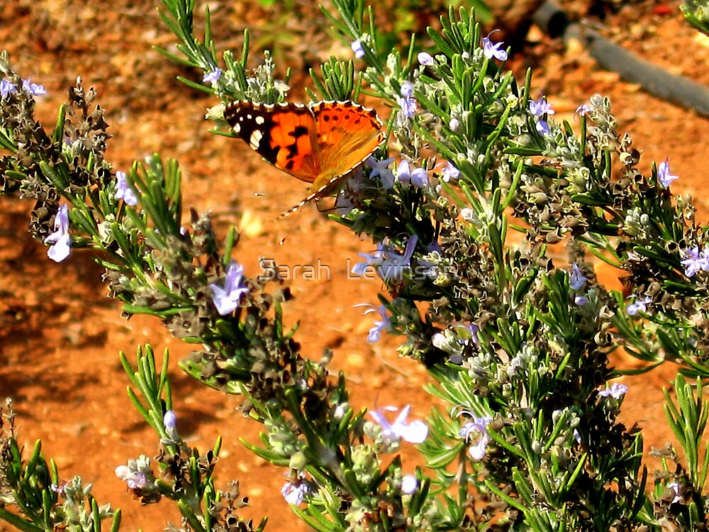 Butterfly on Rosemary (The Rose Garden, Jerusalem) by Sarah  Levinson