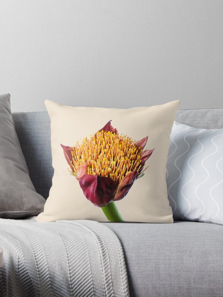 Paintbrush Lily (Scadoxus) in Flower by Scotch Macaskill